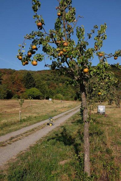 Kirschgarten Birnbau