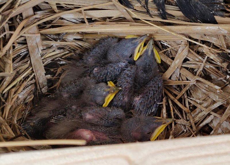 Steinkauzkästen-Hähnlein-Nest-4-2-10x14s