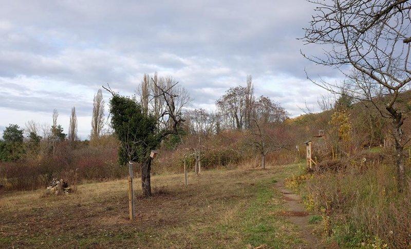 Kirschbäume auf der Bienenweide 2