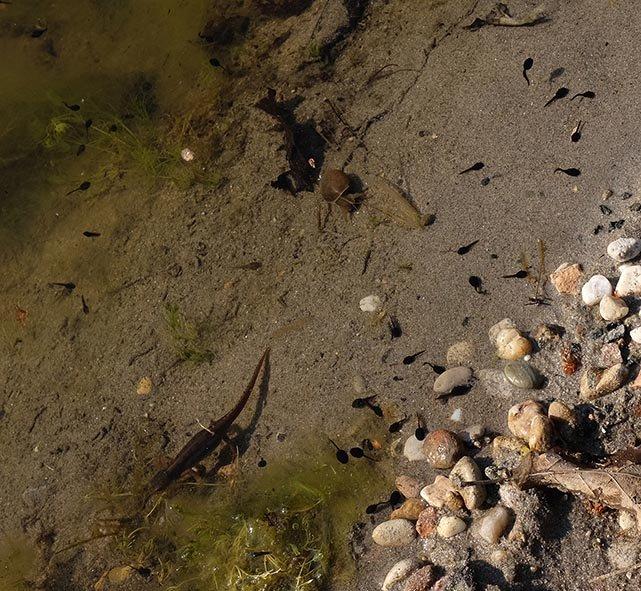 Bergmolch und Erdkröten-Quappen