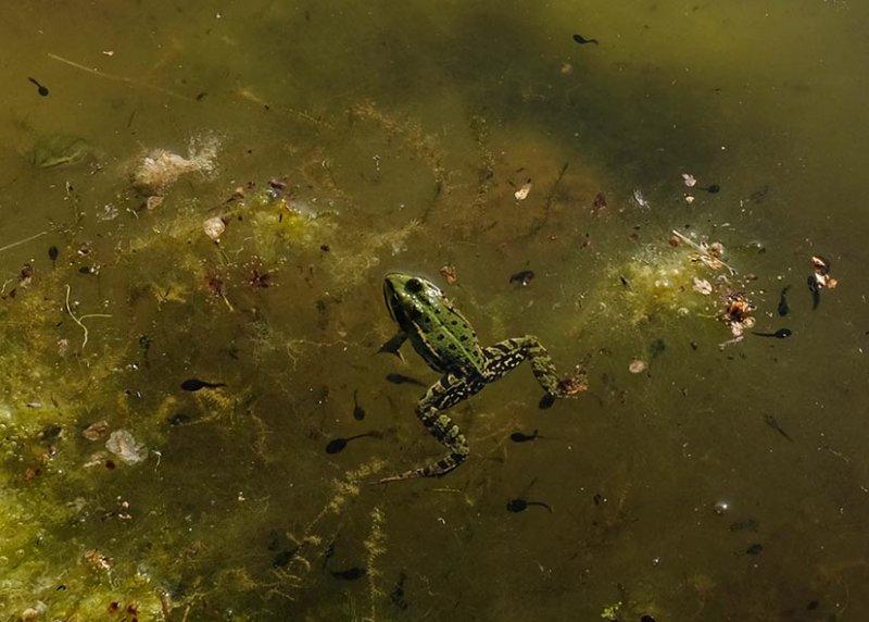 Grünfrosch und Erdkröten-Quappen 1