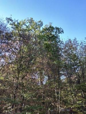 Bild 1: grüne Eiche überragt ausgetrocknete Buchen