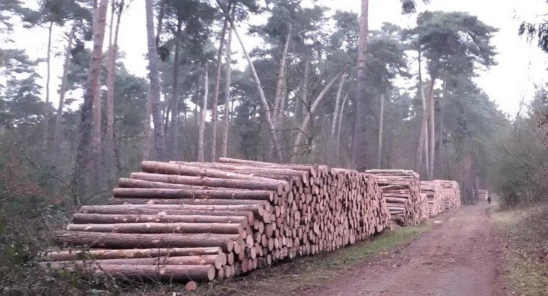 NSG Kalksandkiefernwald bei Seeheim - Holzwirtschaft 4