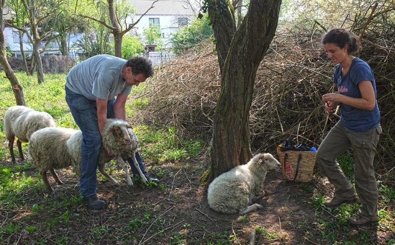 Böckchenweide - Schafpflege 1