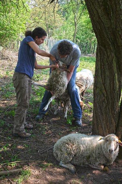 Böckchenweide - Schafpflege 2