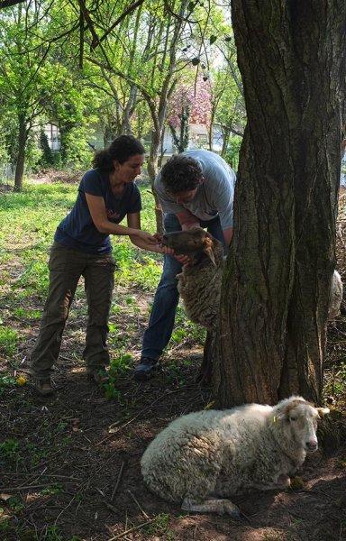 Böckchenweide - Schafpflege 4
