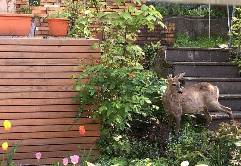 Reh im Garten 3