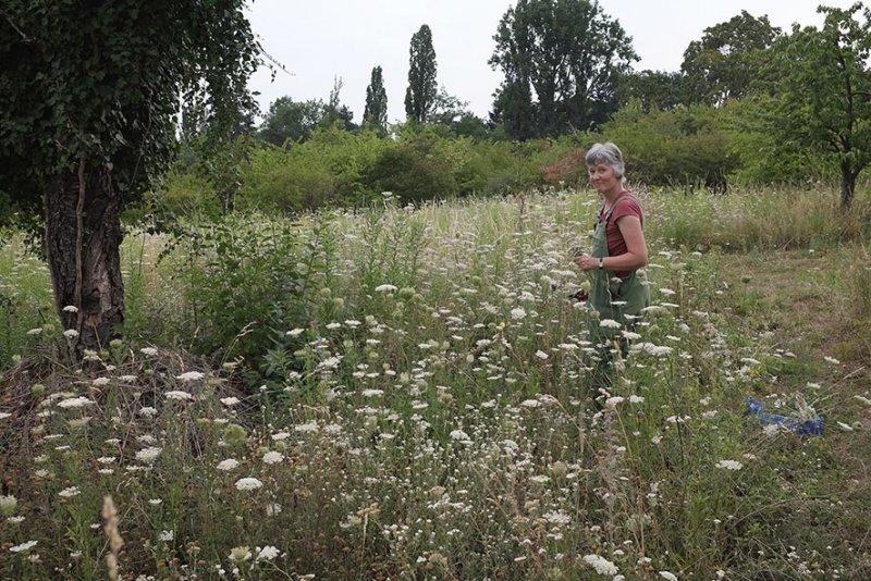 Uli erntet Schafgarbe auf der Bienenweide 1 10x15s