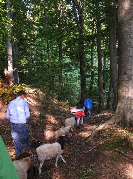 Schafe im Wald 01