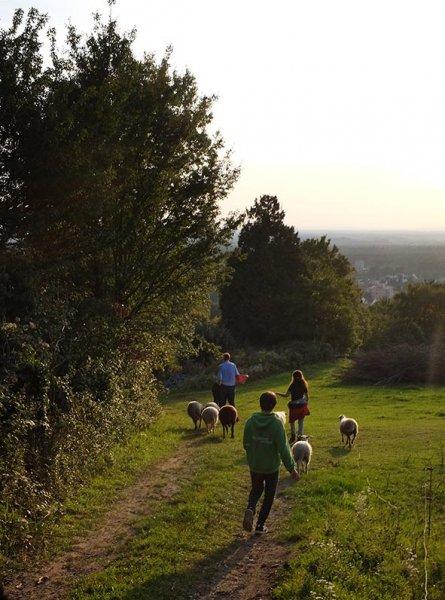 Schafe im Wald 13