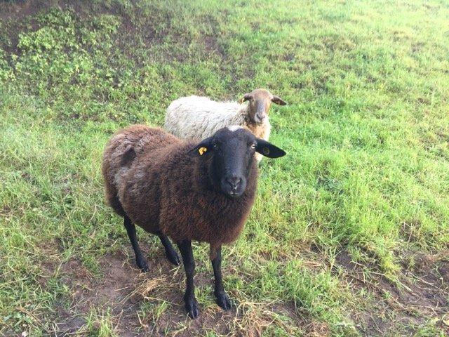 Schafe und Lämmer 03
