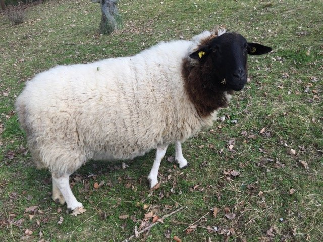 Schafe und Lämmer 05