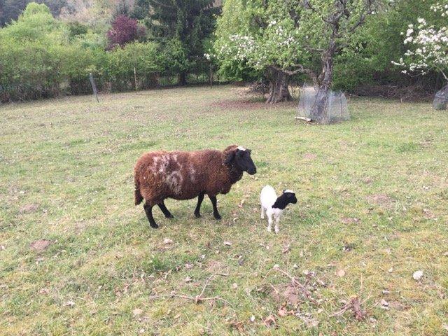 Schafe und Lämmer 07
