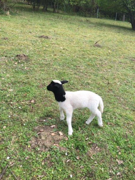 Schafe und Lämmer 11