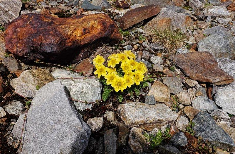 07-Vermuntgletscher-11-Blumen-10x15s