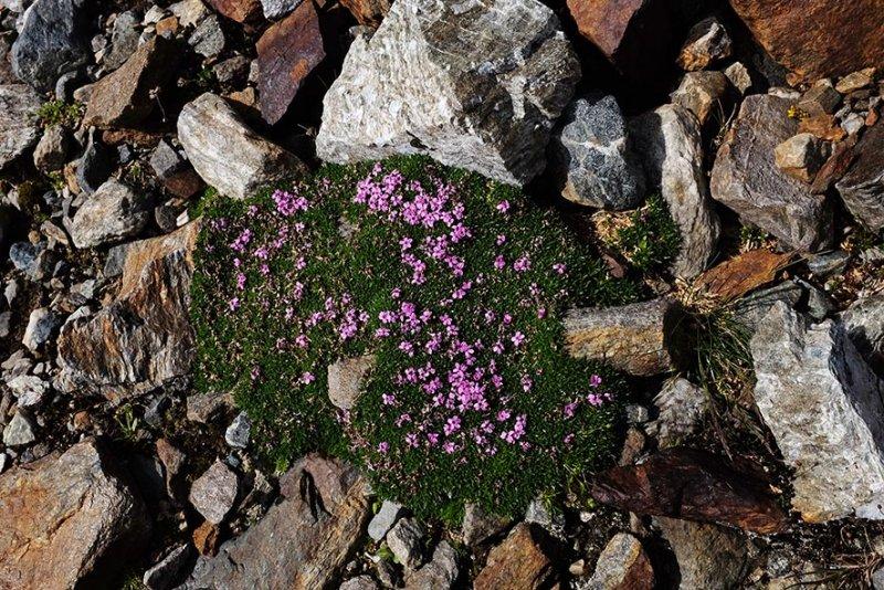 07-Vermuntgletscher-12-Blumen-10x15s