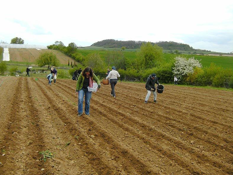 Lindenhof Kartoffeln legen 7