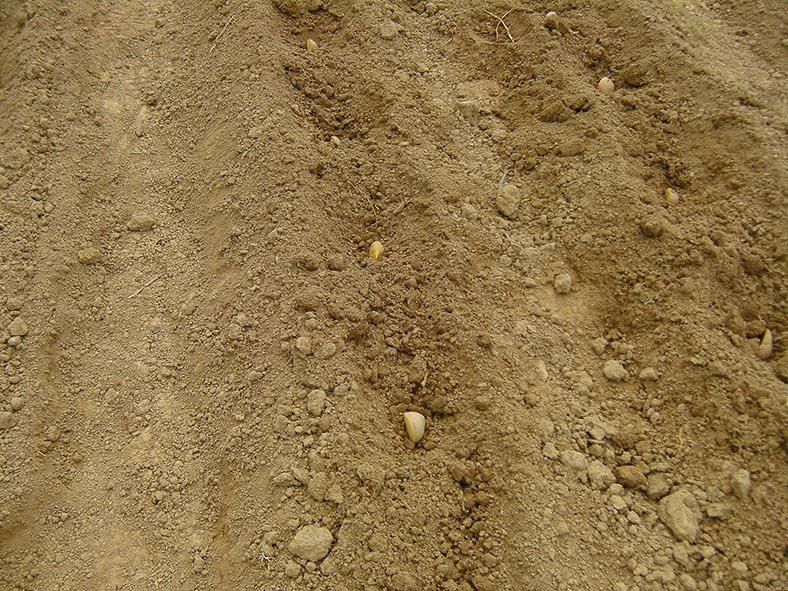 Lindenhof Kartoffeln legen 11