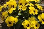 Wühlmausgarten Blüten 2