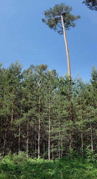 Gepflanzter Kiefern-Stangenwald 1