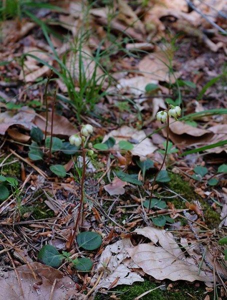 Kleines Wintergrün 2