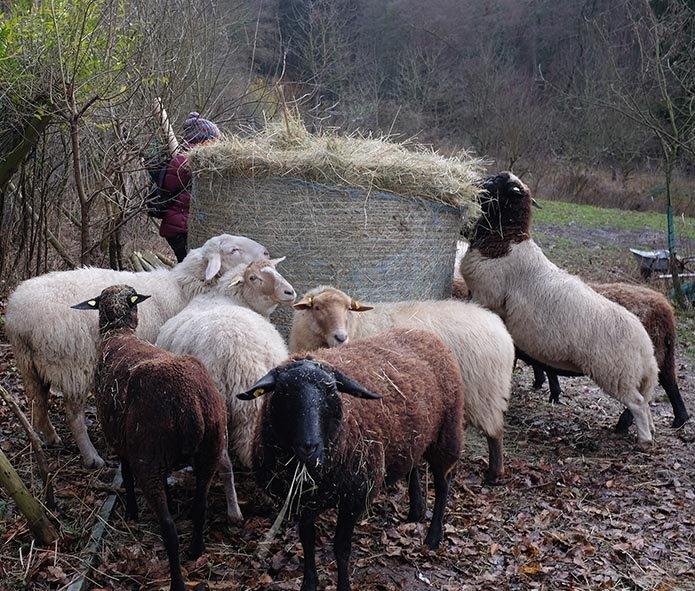 Schafe-auf-den-Etzwiesen-08-Heuballen-10x11s