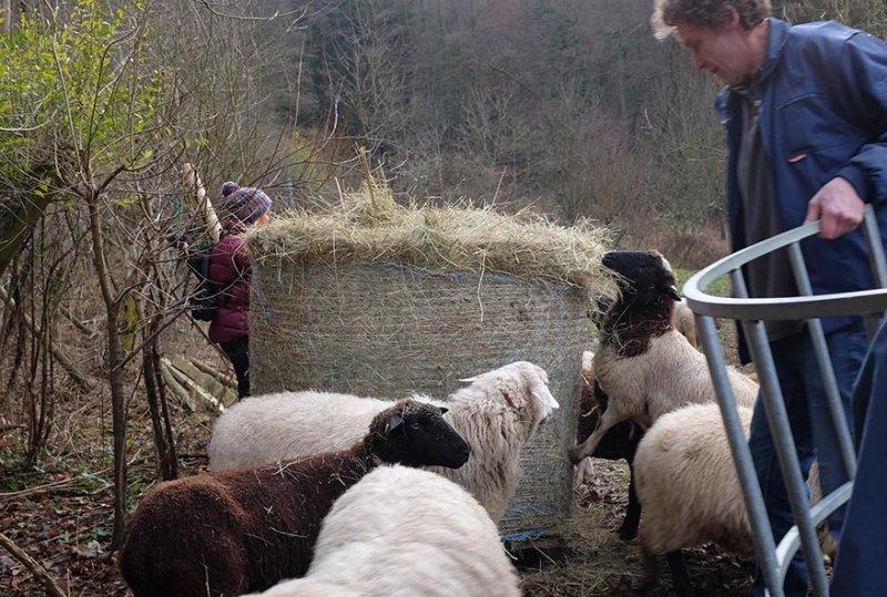 Schafe-auf-den-Etzwiesen-10-Heuballen-10x15s