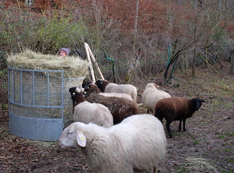 Schafe-auf-den-Etzwiesen-11-Heuballen-10x14s