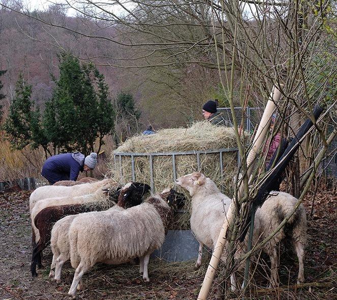 Schafe-auf-den-Etzwiesen-17-10x10s