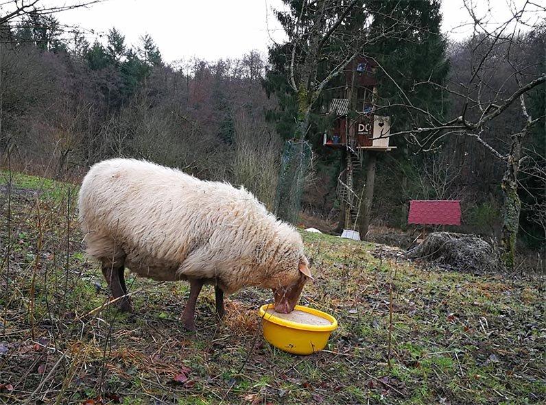 Schafe-auf-den-Etzwiesen-30-10x13s
