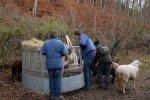 Schafe-auf-den-Etzwiesen-12-Heuballen-10x15s