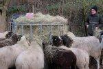 Schafe-auf-den-Etzwiesen-15-10x17s