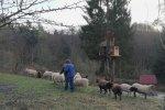 Schafe-auf-den-Etzwiesen-25-10x16s