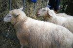 Schafe-auf-den-Etzwiesen-31-Heuballen-10x13s