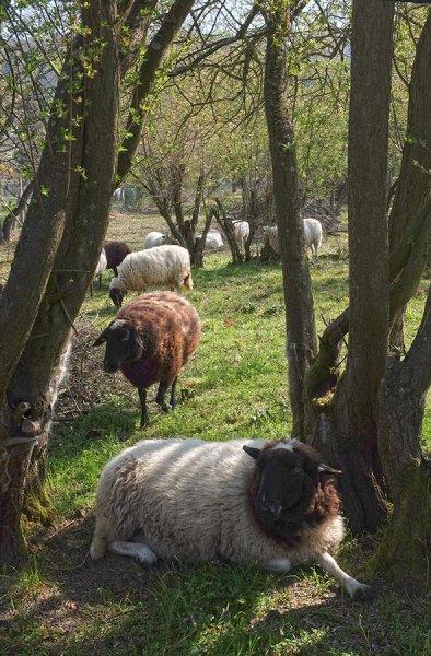 NABU-Schafe-Böckchen-Weide-03-10x15s