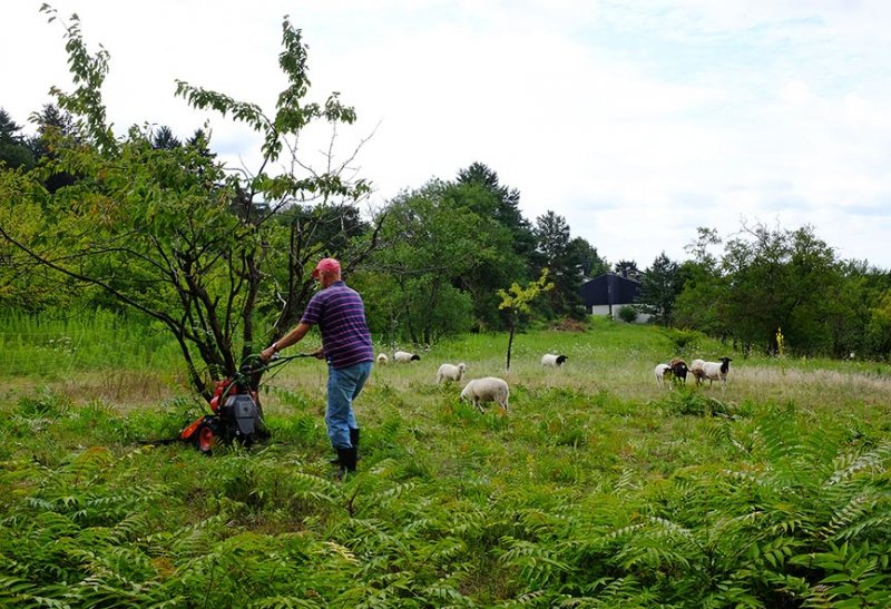 Götterbaum-Weide Mahd 2