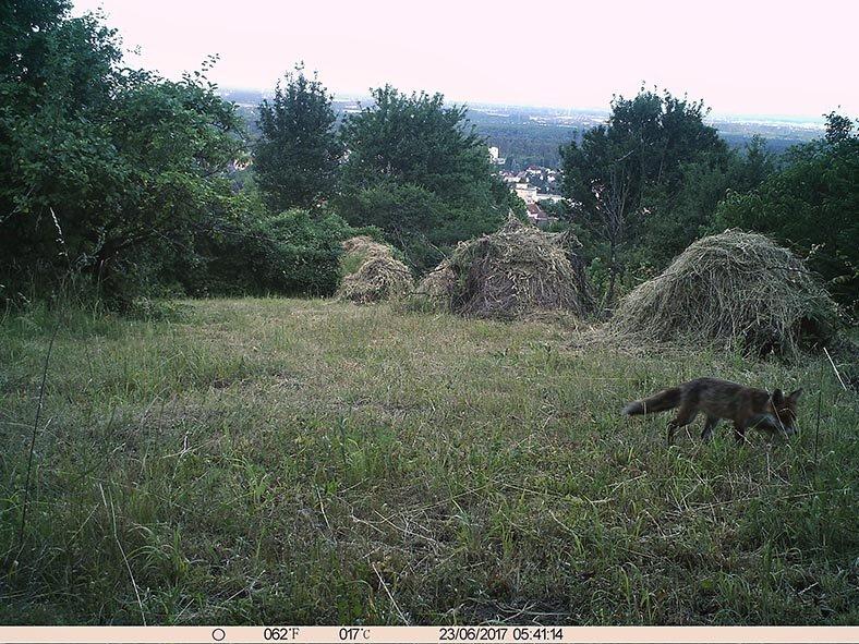 Fuchs am Seeheimer Blütenhang 2 10x13