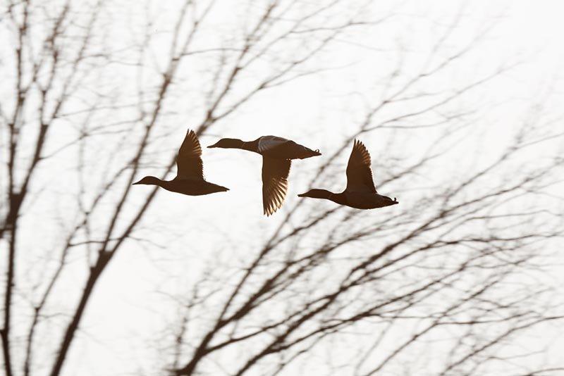 Landbachaue - Stockenten im Flug  1