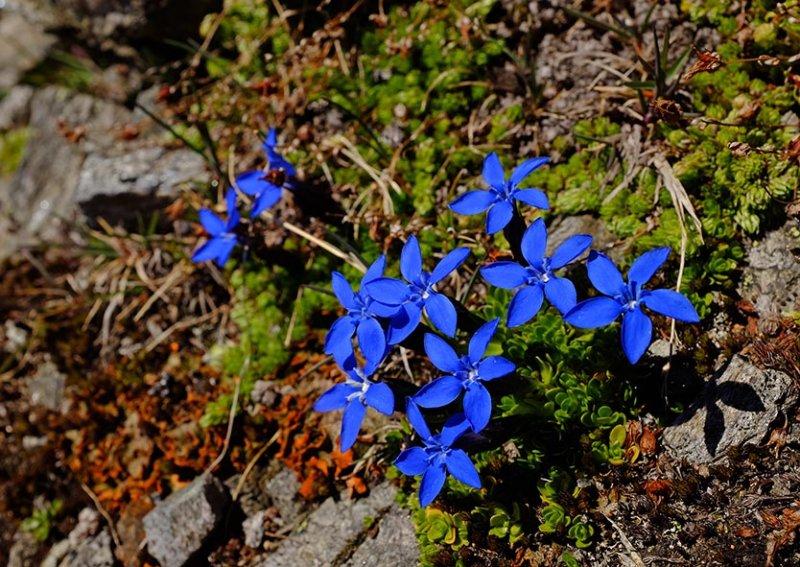 11 Blaue Blume am Scheibler 1