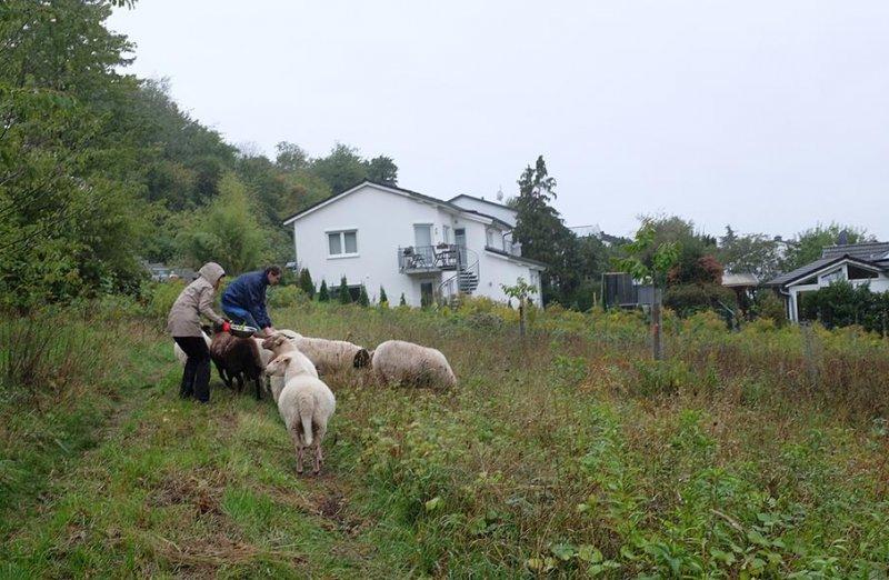 Schafgruppe-Bienenweide-03-10x15s