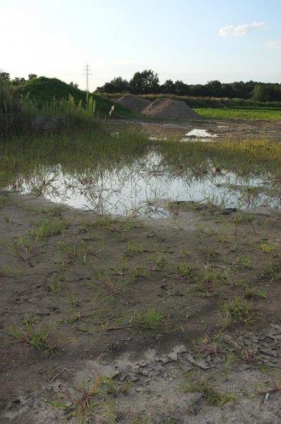 Laichgewässer der Kreuzkröte bei Bickenbach 3