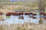 Rindertreck in der Landbachaue 2