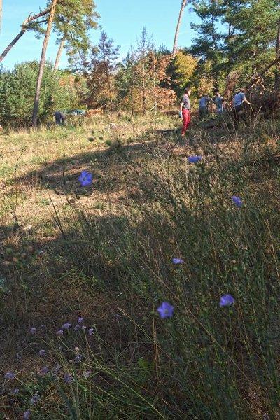 Arbeitseinsatz Bickenbacher Düne 18 Blauer Lein 10x15s