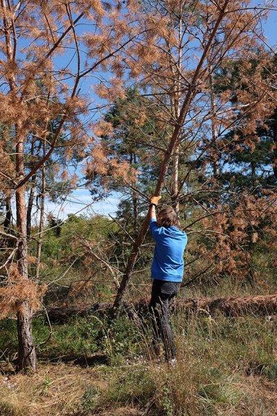 Arbeitseinsatz Bickenbacher Düne - Baum fällt 1 10x15s
