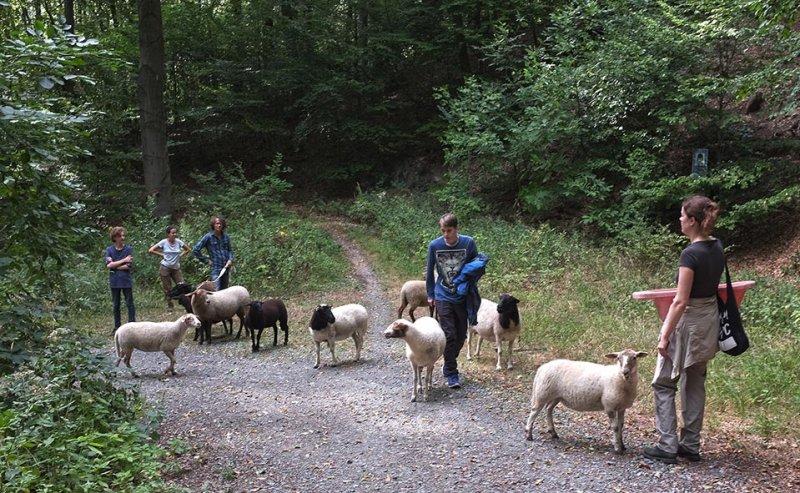 Schafwanderung in den Odenwald - Rast 4
