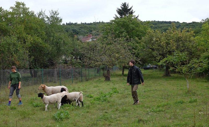 Schafgruppe 1