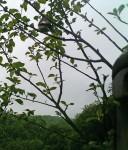 Trauerschnäpper auf den Etzwiesen