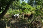 NABU-Schafe im Naturschutzeinsatz II