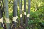 Götterbäume ringeln am Blütenhang Malchen