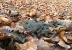 Erdkröten sammeln